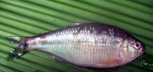 ERI Fish 005